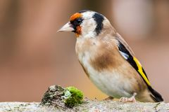 European goldfinch bird close up. Wild goldfinch bird portrait close up native to Europe also known as Carduelis carduelis. The goldfinch has a red face and a Royalty Free Stock Photo