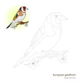 European goldfinch bird learn to draw vector Stock Photos