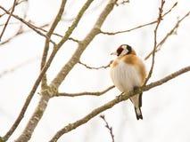 European goldfinch bird sitting on a tree Stock Image
