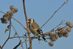 European Goldfinch on the burdock Stock Photography