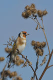 European Goldfinch on the burdock Royalty Free Stock Photo