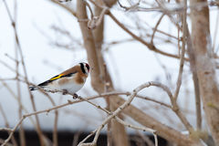 European Goldfinch (Carduelis Royalty Free Stock Photography