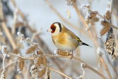 European Goldfinch (Carduelis carduelis). In winter scene Royalty Free Stock Image