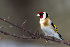 European Goldfinch (Carduelis carduelis) Stock Image