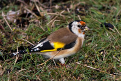 European Goldfinch. Carduelis carduelis on autumn migration at Ottenby, Oland Island, Southern Sweden Royalty Free Stock Images
