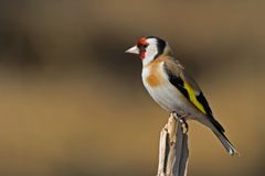 European Goldfinch (Carduelis carduelis). The beautiful and colorful European Goldfinch (Carduelis carduelis) sitting on a twig in the sun, Uppland, Sweden stock images