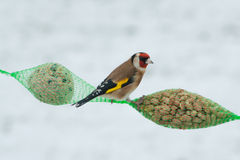 European goldfinch Stock Images