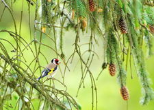 European goldfinch (carduelis carduelis) Stock Photos
