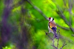 Free European Goldfinch Carduelis Carduelis In Nature Stock Photo - 148372960