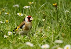 European goldfinch in the meadow Royalty Free Stock Photography