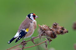 European goldfinch (carduelis carduelis) Royalty Free Stock Photography