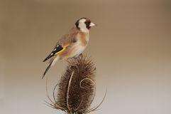 European Goldfinch (Carduelis Carduelis) On Winter Teasel Royalty Free Stock Image