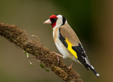European Goldfinch (Carduelis carduelis) Stock Photography
