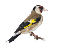 European Goldfinch, carduelis carduelis, perched on a branch Royalty Free Stock Image