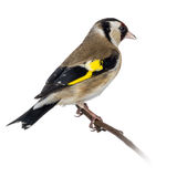 European Goldfinch, carduelis carduelis, perched on a branch Royalty Free Stock Images