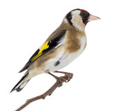 European Goldfinch, carduelis carduelis, perched on a branch Stock Photography