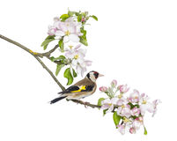 European Goldfinch, carduelis carduelis, perched on a flowering branch Stock Image
