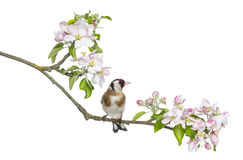 European Goldfinch, carduelis carduelis, perched on a flowering branch Royalty Free Stock Images