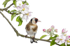 European Goldfinch, carduelis carduelis, perched on a flowering branch Stock Photography