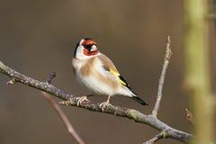 European Goldfinch (Carduelis carduelis) Stock Photos