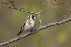 European Goldfinch (Carduelis carduelis) Royalty Free Stock Photos