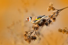 European Goldfinch, Carduelis carduelis, sitting on thistle, Sumava, Czech republic, Male grey songbird with green and yellow clea Royalty Free Stock Photography