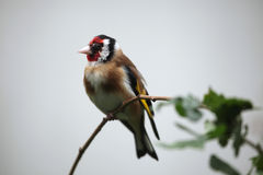European goldfinch Carduelis carduelis Stock Images