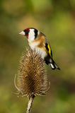 European Goldfinch close-up Stock Images