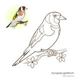 European goldfinch color book vector Stock Photos