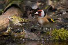 European Goldfinch and Eurasian Siskin together for scale comparison stock photos