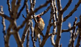 European goldfinch on fig tree Royalty Free Stock Image