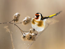 European Goldfinch flits over the burdock.  Royalty Free Stock Photo