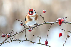 European Goldfinch. European Goldfinch with frozen red rose hips Stock Photography