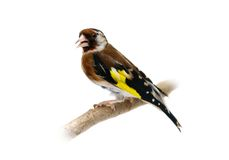 European goldfinch isolated on white Stock Image