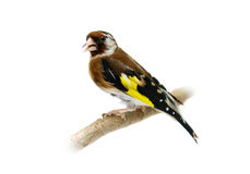 European goldfinch isolated on white (female) Royalty Free Stock Photography