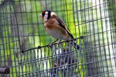 European Goldfinch royalty free stock photos