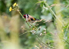European Goldfinch Perched On Flower Stem B. Carduelis Carduelis Shallow Depth Of Field Stock Images