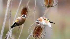 European goldfinch perched stock video footage