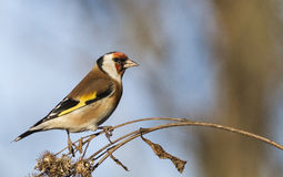 European goldfinch. Sitting on autumn thistle Royalty Free Stock Photo