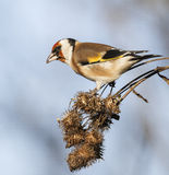 European goldfinch. Sitting on autumn thistle Royalty Free Stock Images