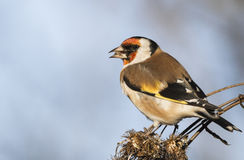 European goldfinch. Sitting on autumn thistle Stock Photos
