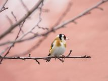 European goldfinch sitting on the branch of a tree Royalty Free Stock Photography