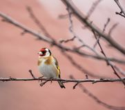 European goldfinch sitting on the branch of a tree royalty free stock image