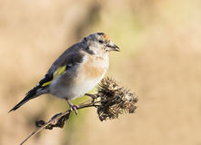 European Goldfinch. Sitting on the thistle Royalty Free Stock Images