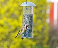 European goldfinch Stock Photos