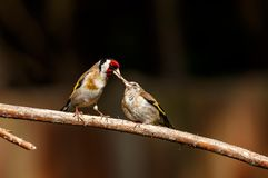 Goldfinch Family Drinking Water At A Bird Bath Stock Image