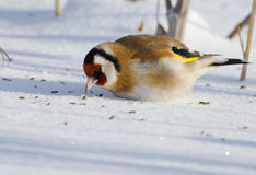 European Goldfinch on snow. European Goldfinch peck at grain Stock Photography