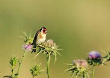 European Goldfinch Royalty Free Stock Photography