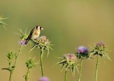 European Goldfinch Stock Photography