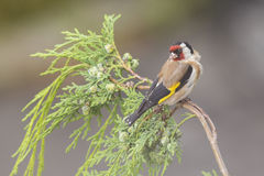 European Goldfinch in summer Royalty Free Stock Photos